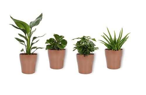 Set 4er Zimmerpflanzen - Aloe Vera, Coffea Arabica, Peperomia Green Gold & Strelitzia - Zimmerpflanzen im kupferfarbenen Topf - Höhe +/- 25cm inklusive Topf - 12cm Durchmesser (Topf) - Luftreinigend