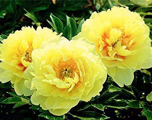 5 Sorten chinesischer Pfingstrose/Pfingstrose Garten blumen Pfingstrosen pflanzen winterhart Freilandpflanzen / 2 Rhizom-3