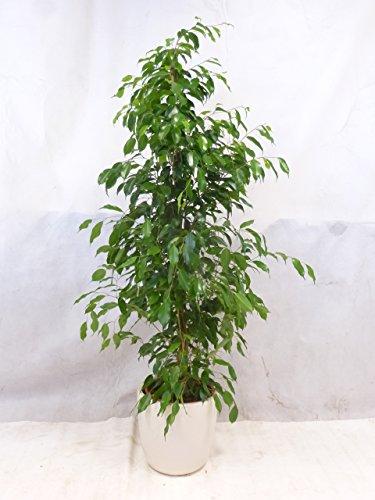 Ficus benjamini 'Exotica' 150/160 cm / Zimmerpflanze