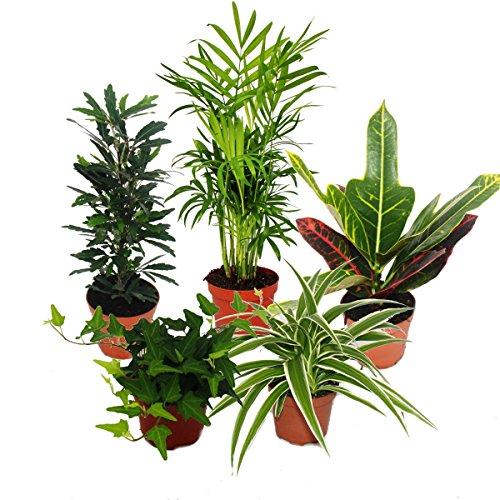 Großes Zimmerpflanzen Set mit 5 Pflanzen - 9cm