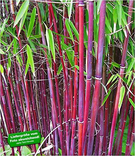 BALDUR Garten Roter Bambus 'Chinese Wonder' winterhart, 1 Pflanze Fargesia jiuzhaigou No.1 bildet Keine Wurzelausläufer, schnell wachsend